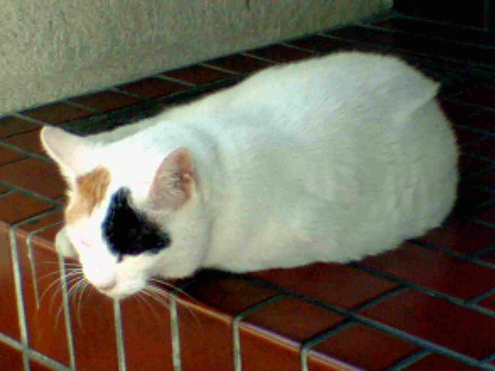 神保町の猫